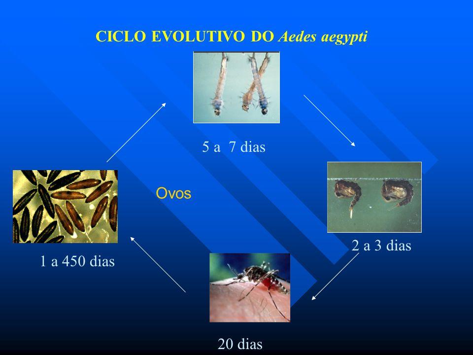 CICLO EVOLUTIVO DO Aedes aegypti
