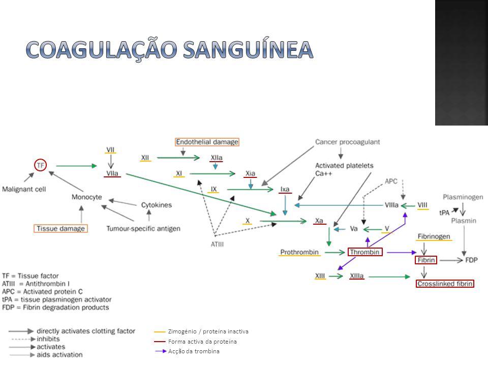 Coagulação sanguínea Zimogénio / proteína inactiva