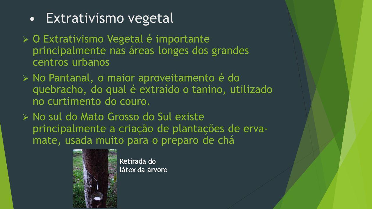Extrativismo vegetal O Extrativismo Vegetal é importante principalmente nas áreas longes dos grandes centros urbanos.
