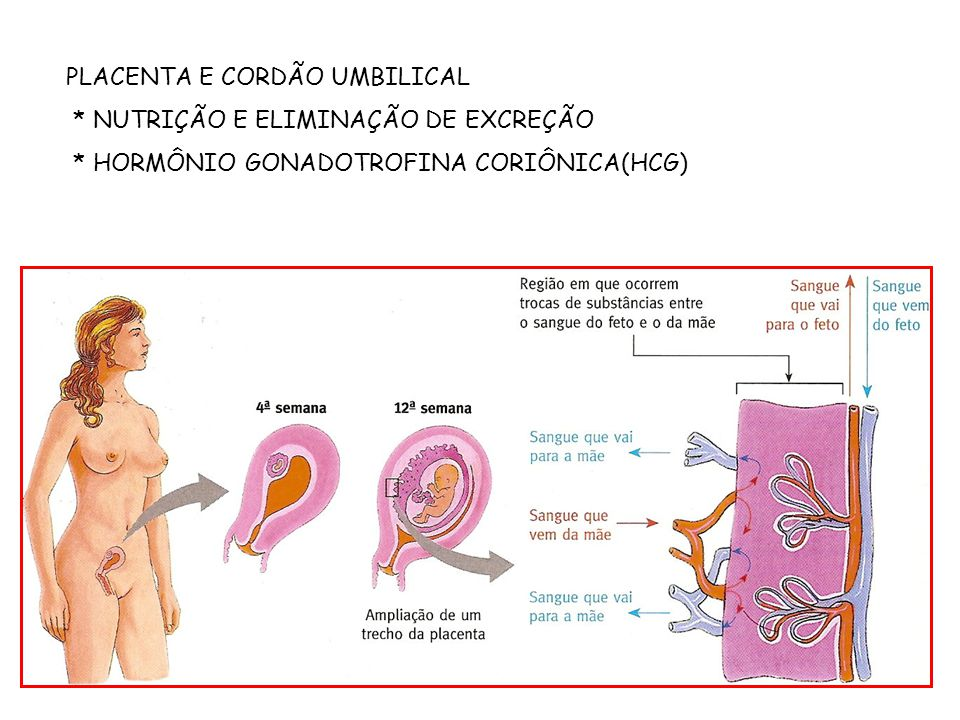 PLACENTA E CORDÃO UMBILICAL