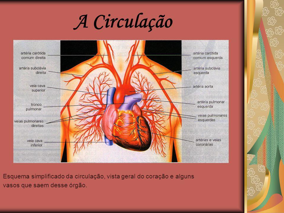 A Circulação Esquema simplificado da circulação, vista geral do coração e alguns.