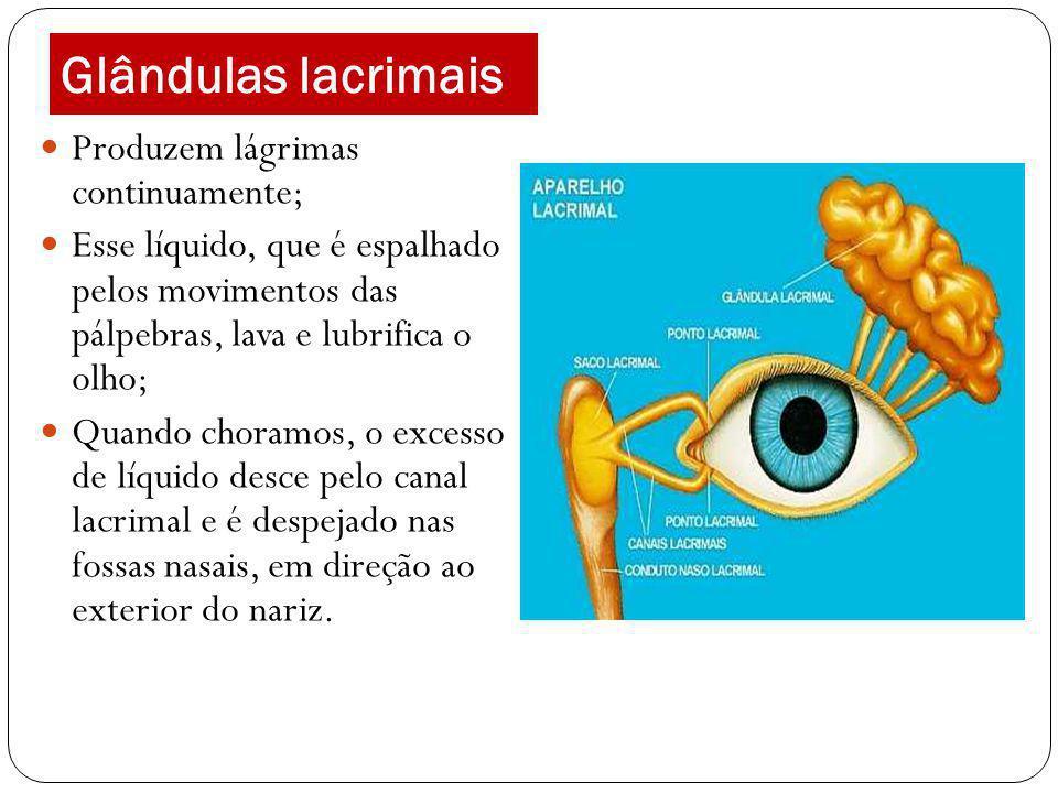 Glândulas lacrimais Produzem lágrimas continuamente;