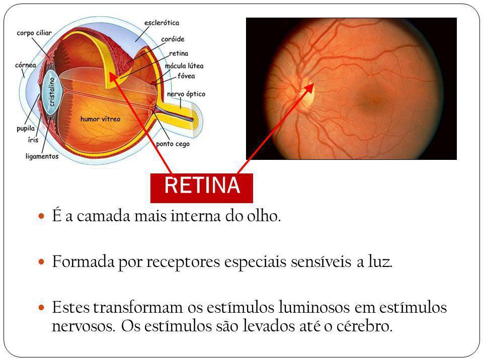 RETINA É a camada mais interna do olho.