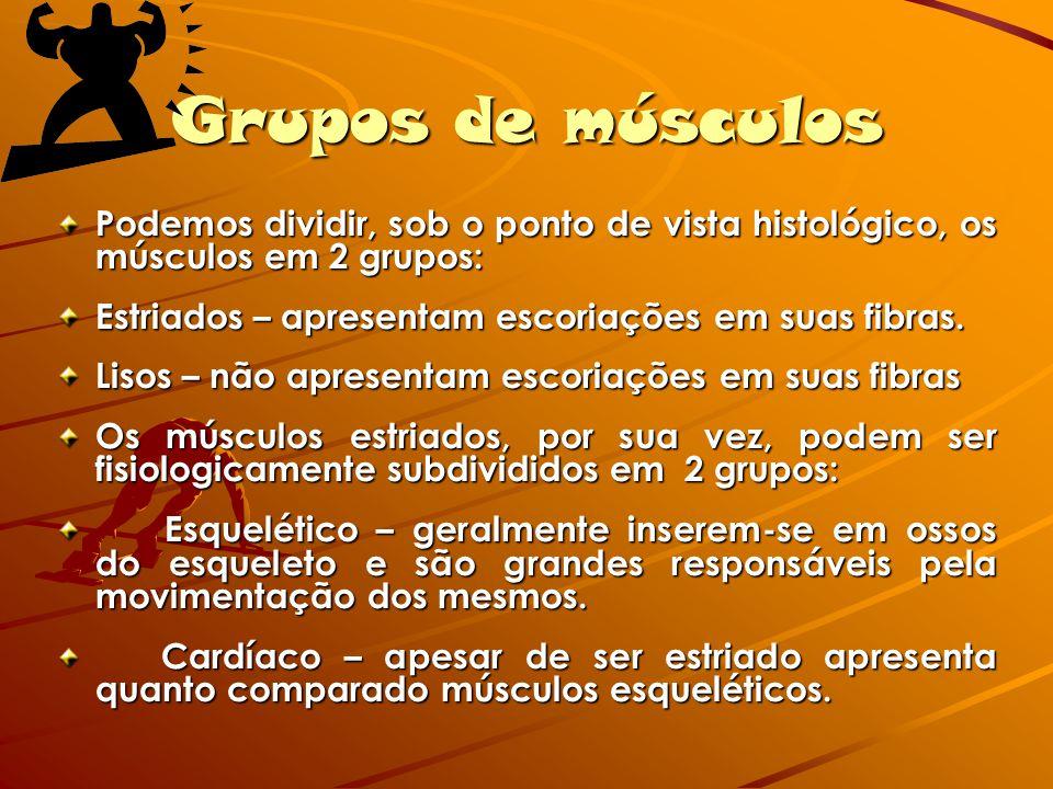 Grupos de músculos Podemos dividir, sob o ponto de vista histológico, os músculos em 2 grupos: Estriados – apresentam escoriações em suas fibras.