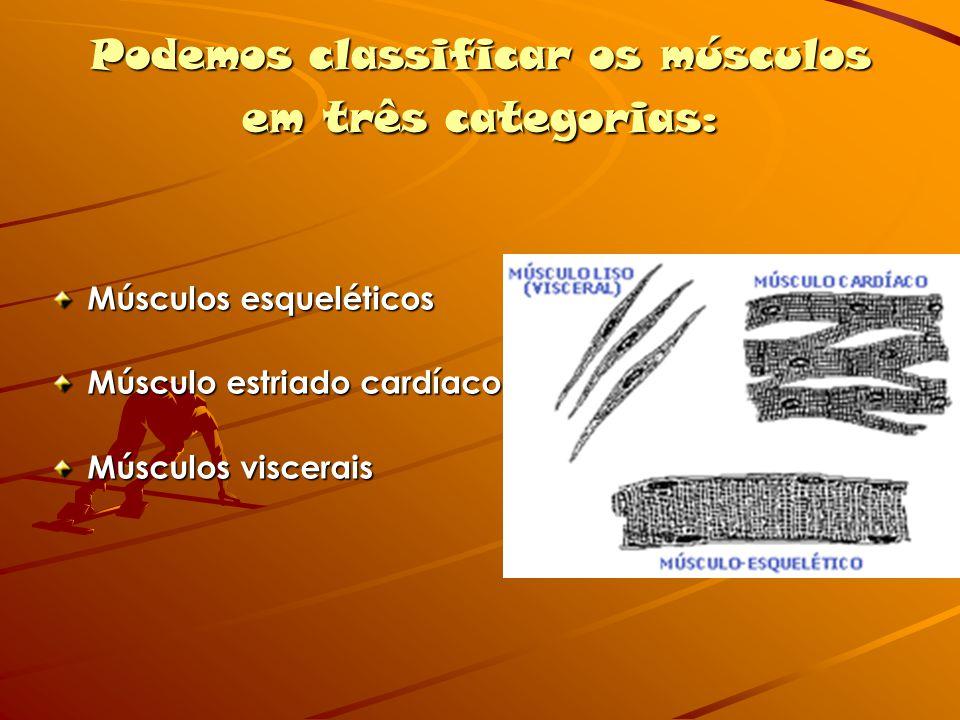 Podemos classificar os músculos em três categorias: