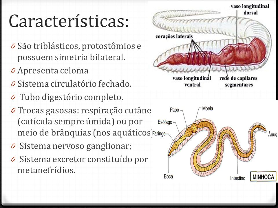 Características: São triblásticos, protostômios e possuem simetria bilateral. Apresenta celoma. Sistema circulatório fechado.