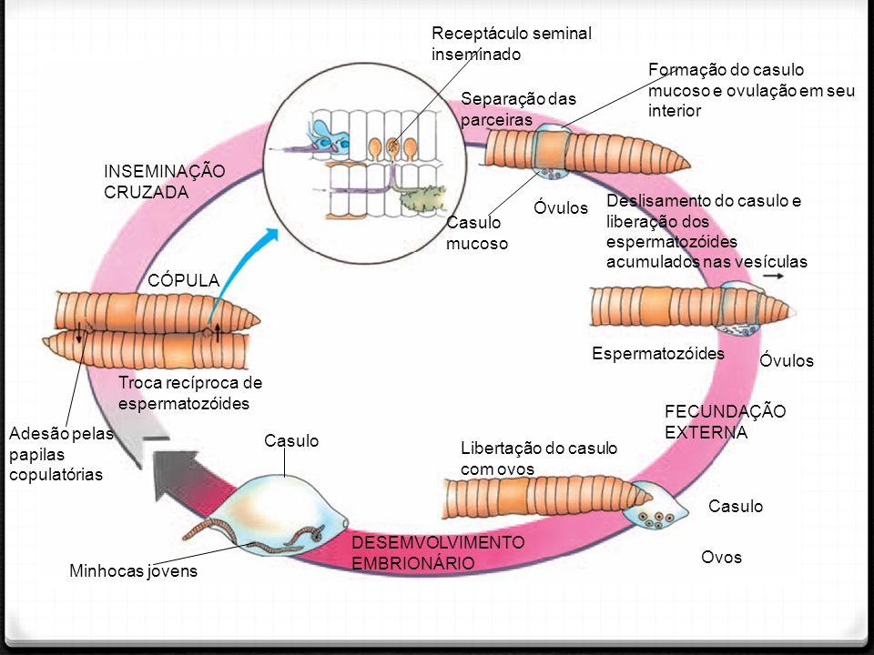 Receptáculo seminal inseminado