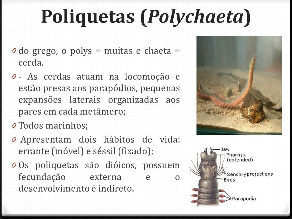 Poliquetas (Polychaeta)