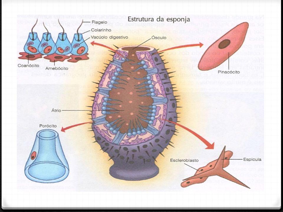 Espículas calcárias ou silicosa e tem uma proteína chamada de espongina