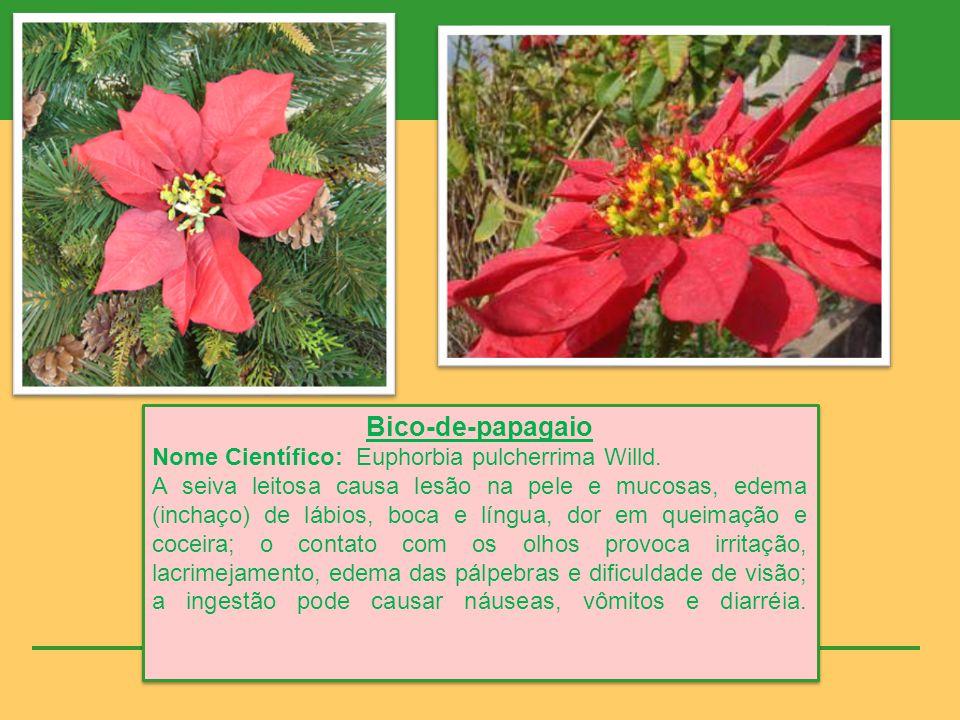 Bico-de-papagaio Nome Científico: Euphorbia pulcherrima Willd.