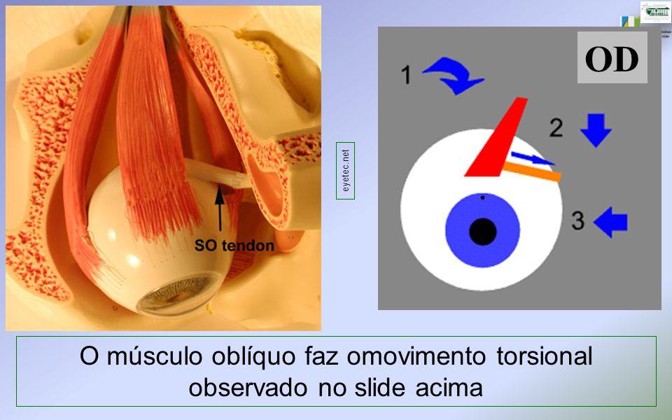 O músculo oblíquo faz omovimento torsional observado no slide acima