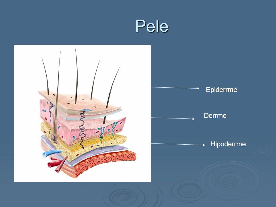 Pele Epiderrme Derrme Hipoderrme