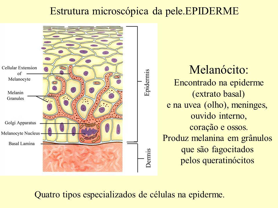 Estrutura microscópica da pele.EPIDERME