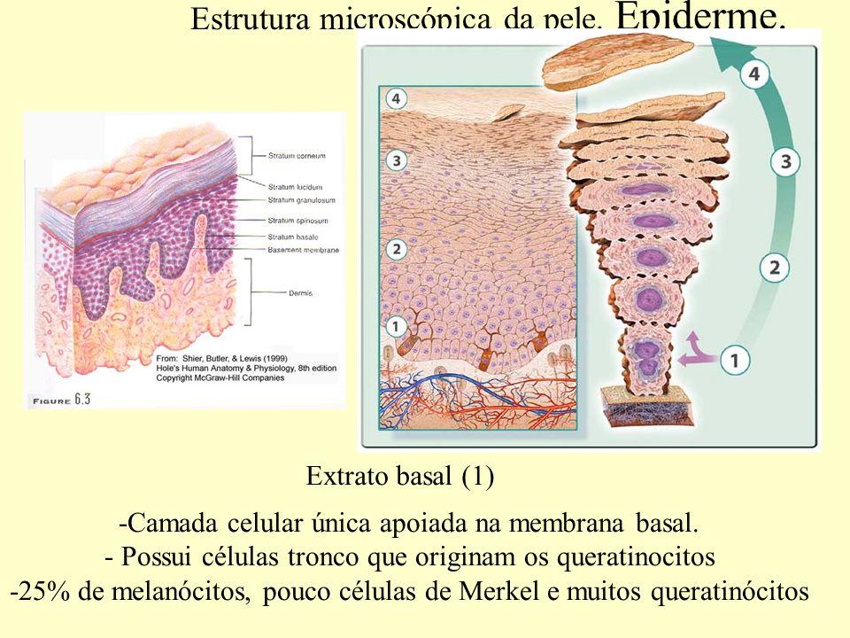 Estrutura microscópica da pele. Epiderme.