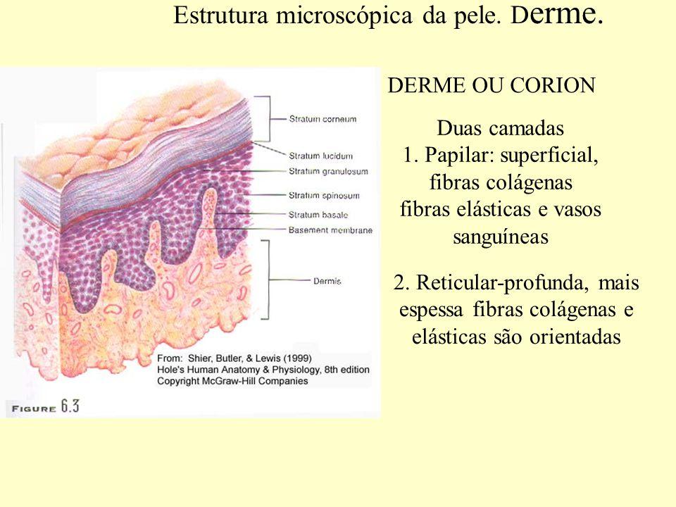 Estrutura microscópica da pele. Derme.