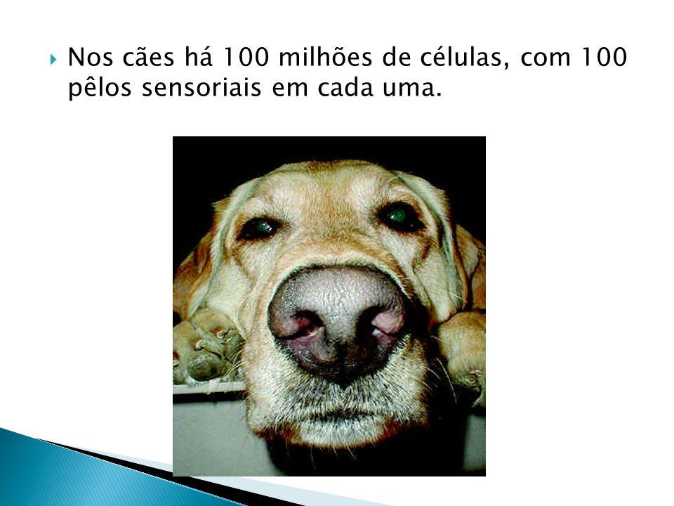 Nos cães há 100 milhões de células, com 100 pêlos sensoriais em cada uma.