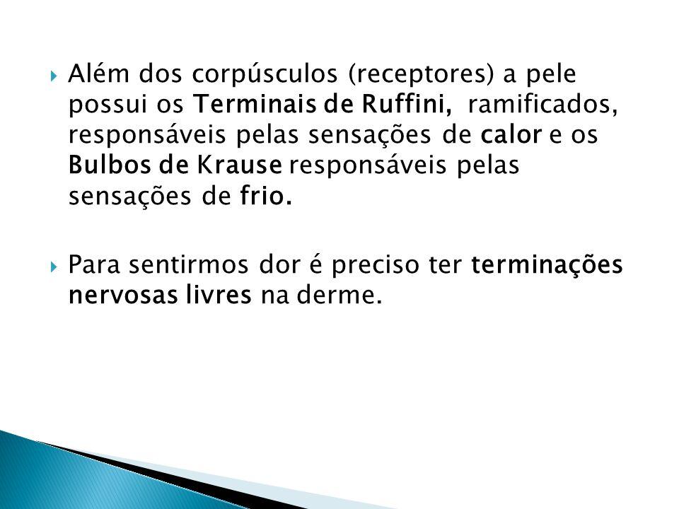Além dos corpúsculos (receptores) a pele possui os Terminais de Ruffini, ramificados, responsáveis pelas sensações de calor e os Bulbos de Krause responsáveis pelas sensações de frio.