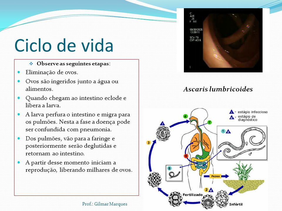 Ciclo de vida Ascaris lumbricoides Eliminação de ovos.