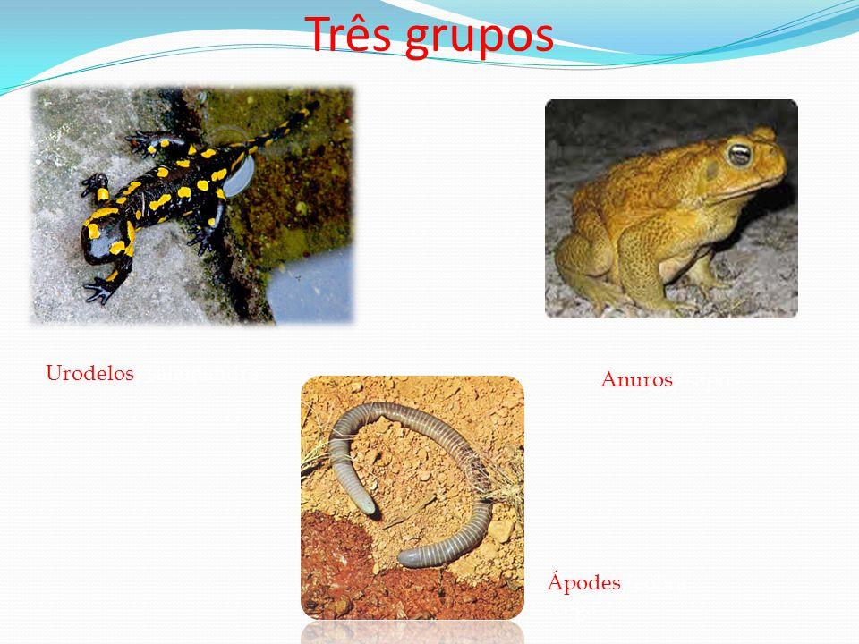 Três grupos Urodelos/salamandra Anuros/sapos Ápodes/cobra-cega