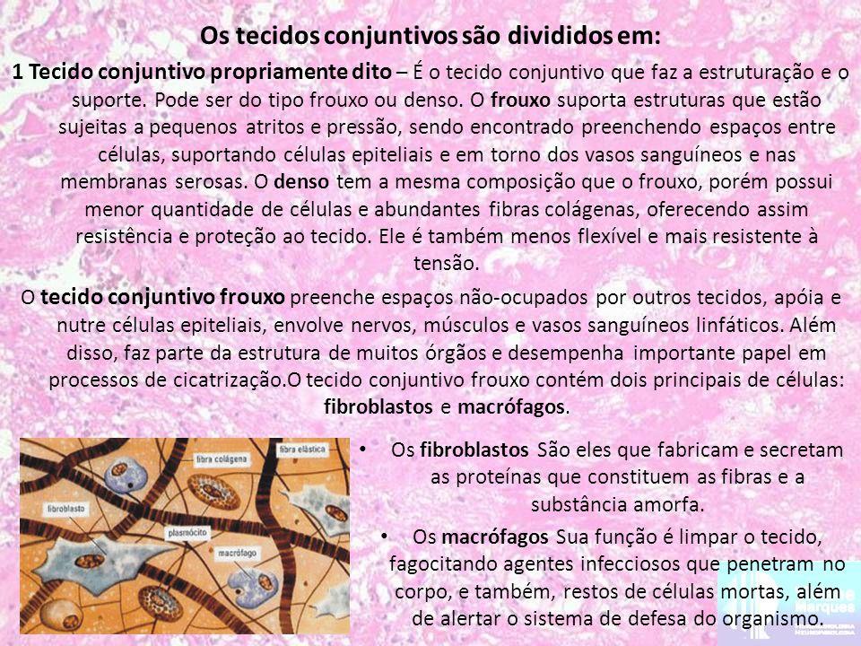 Os tecidos conjuntivos são divididos em: