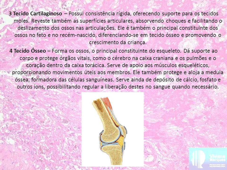3 Tecido Cartilaginoso – Possui consistência rígida, oferecendo suporte para os tecidos moles.