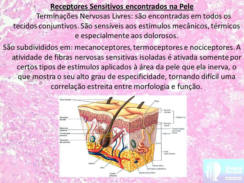 Receptores Sensitivos encontrados na Pele Terminações Nervosas Livres: são encontradas em todos os tecidos conjuntivos.