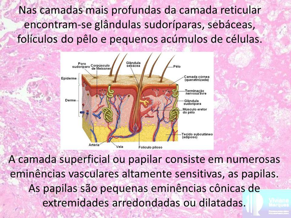 Nas camadas mais profundas da camada reticular encontram-se glândulas sudoríparas, sebáceas, folículos do pêlo e pequenos acúmulos de células.