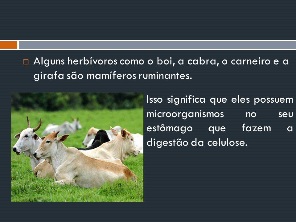 Alguns herbívoros como o boi, a cabra, o carneiro e a girafa são mamíferos ruminantes.