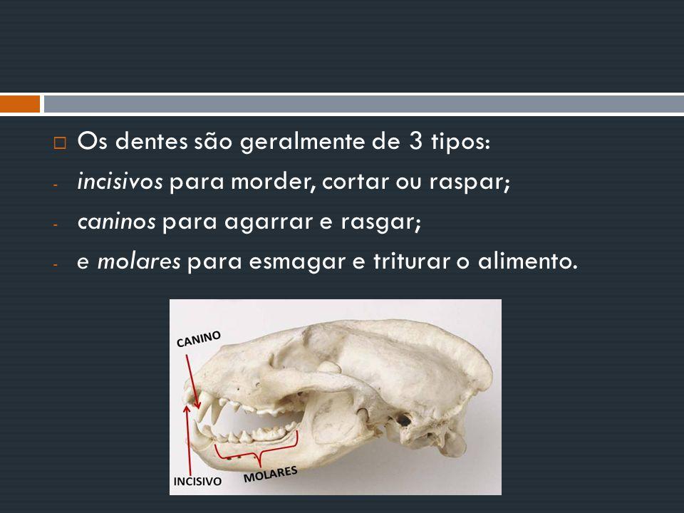 Os dentes são geralmente de 3 tipos:
