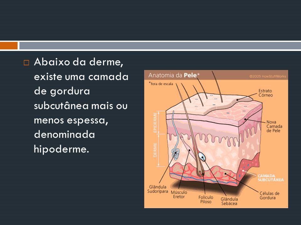 Abaixo da derme, existe uma camada de gordura subcutânea mais ou menos espessa, denominada hipoderme.