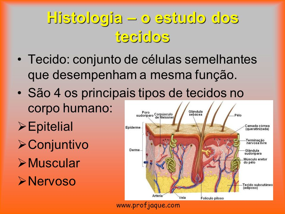 Histologia – o estudo dos tecidos