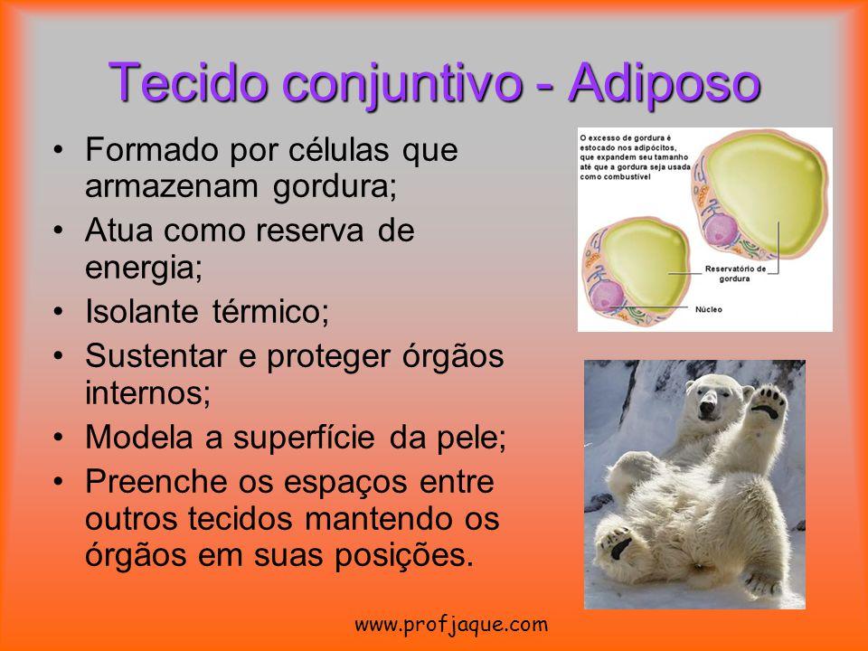 Tecido conjuntivo - Adiposo