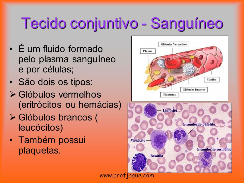 Tecido conjuntivo - Sanguíneo