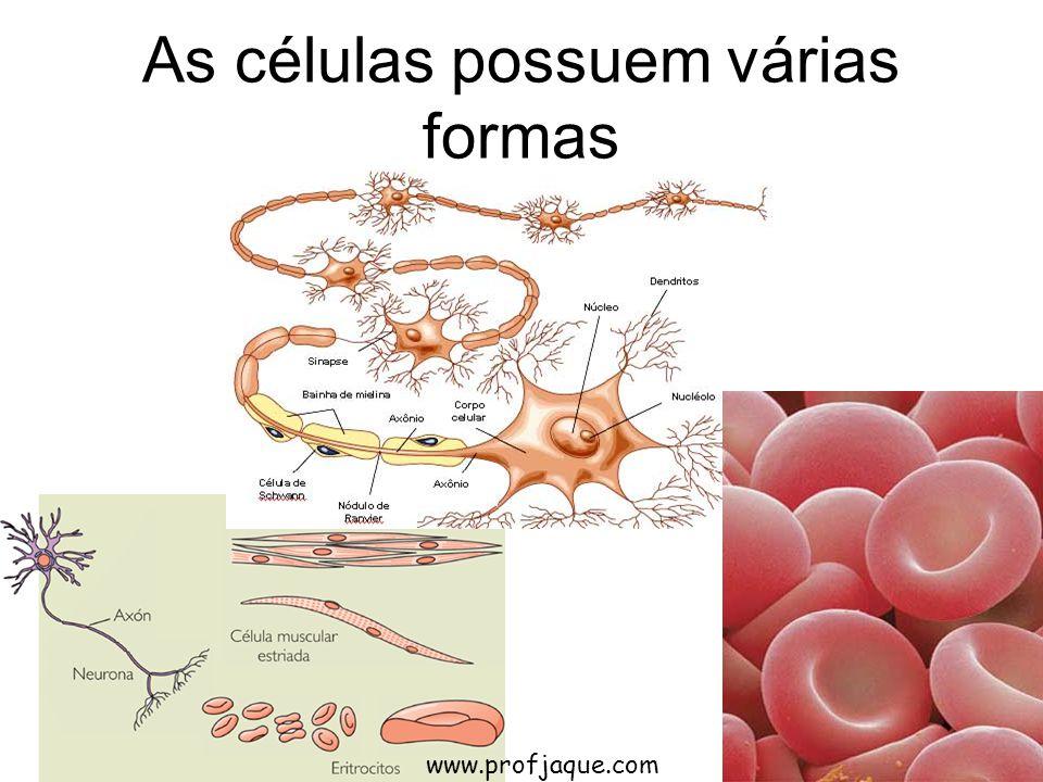 As células possuem várias formas