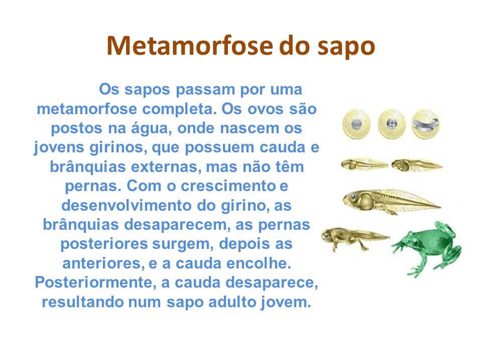 Metamorfose do sapo