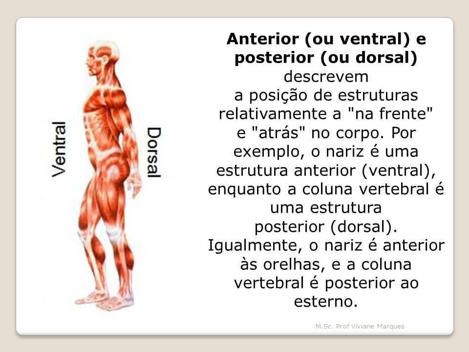 Anterior (ou ventral) e posterior (ou dorsal) descrevem
