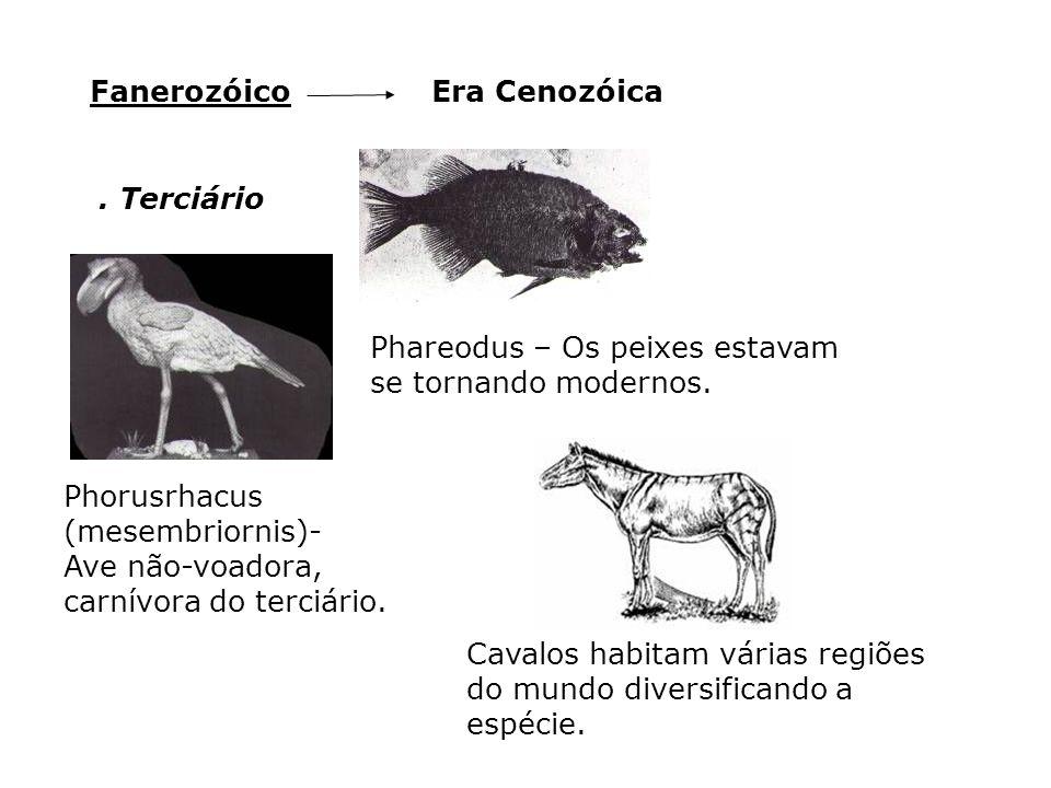 Fanerozóico Era Cenozóica. . Terciário. Phareodus – Os peixes estavam se tornando modernos. Phorusrhacus (mesembriornis)-