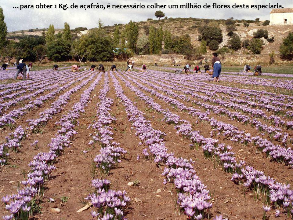 …para obter 1 Kg. de açafrão, é necessário colher um milhão de flores desta especiaria.