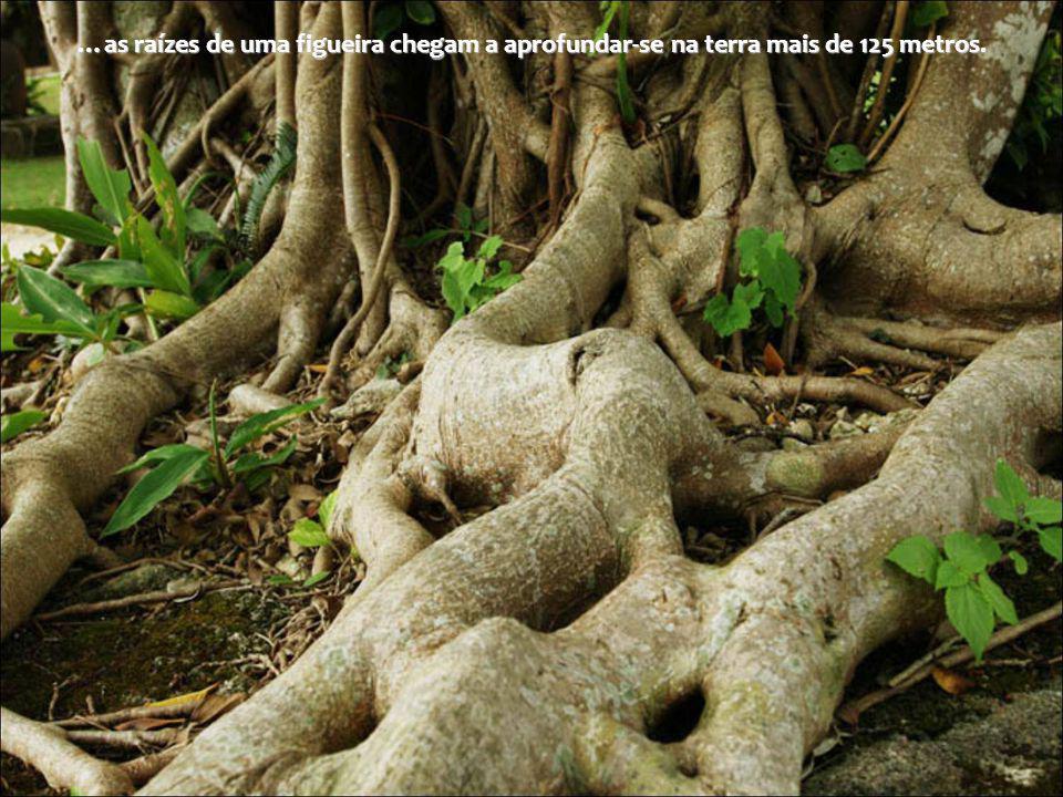 …as raízes de uma figueira chegam a aprofundar-se na terra mais de 125 metros.