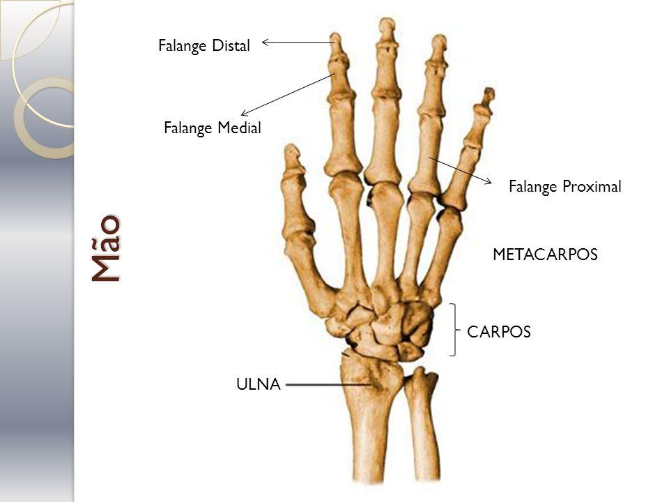 Mão Falange Distal Falange Medial Falange Proximal METACARPOS CARPOS