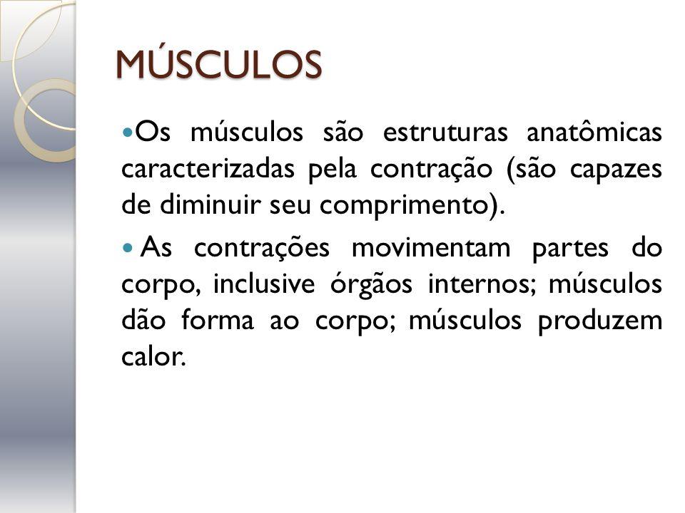 MÚSCULOS Os músculos são estruturas anatômicas caracterizadas pela contração (são capazes de diminuir seu comprimento).