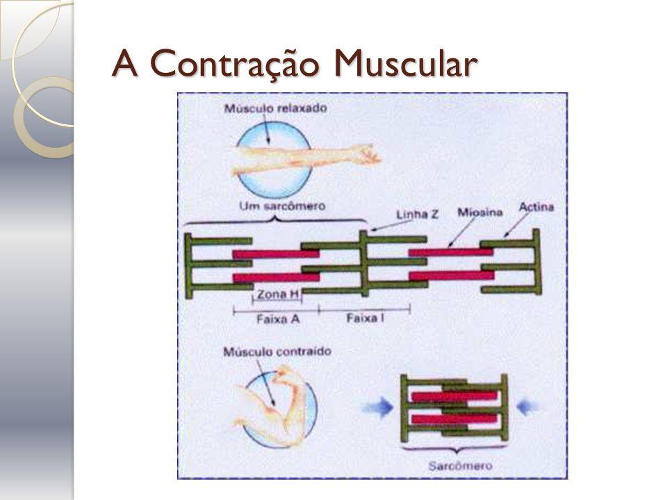 A Contração Muscular