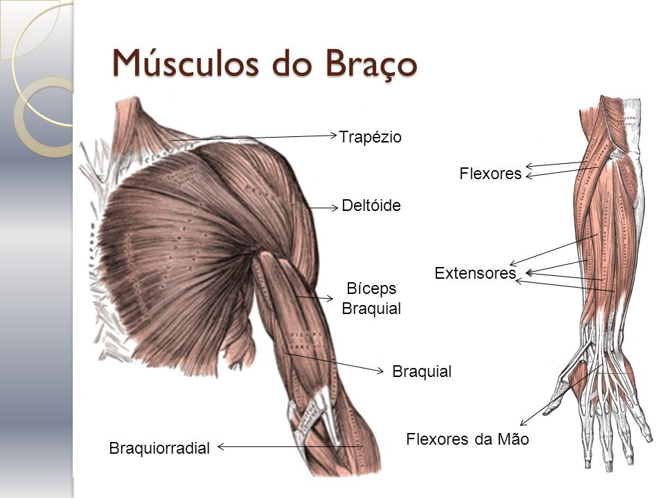 Músculos do Braço Trapézio Flexores Deltóide Extensores Bíceps