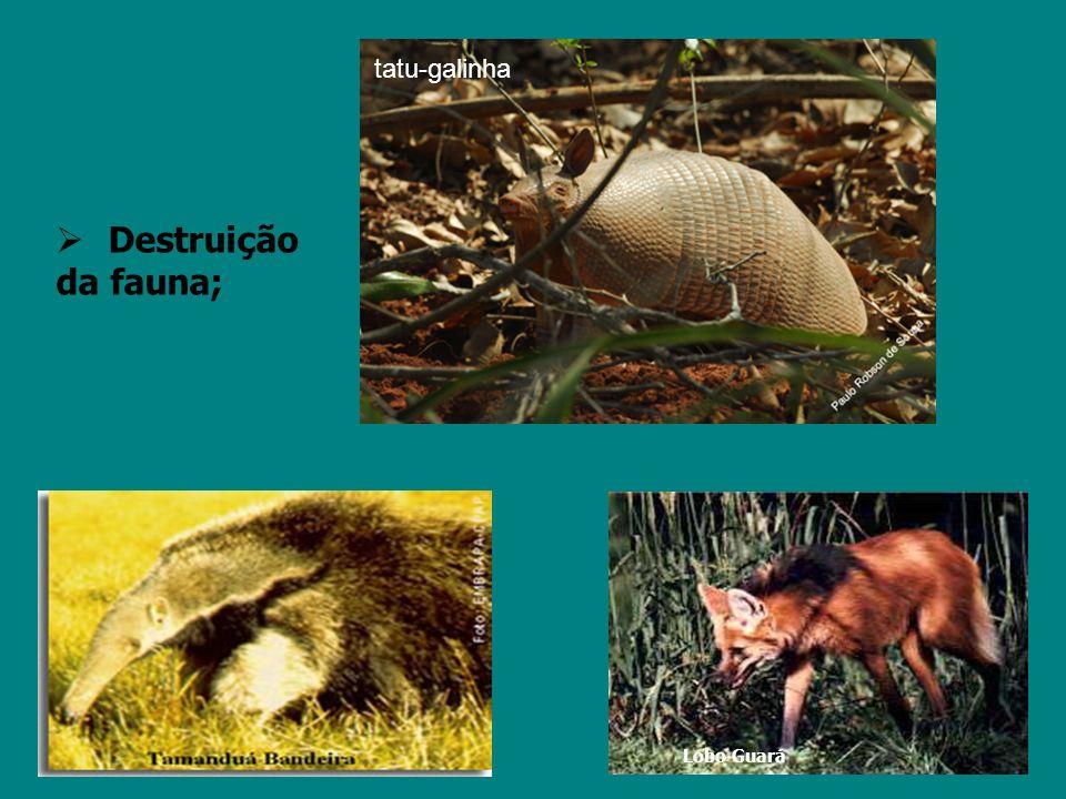 tatu-galinha Destruição da fauna; Morte de animais; Lobo Guará