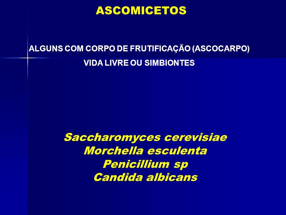 Saccharomyces cerevisiae Morchella esculenta Penicillium sp