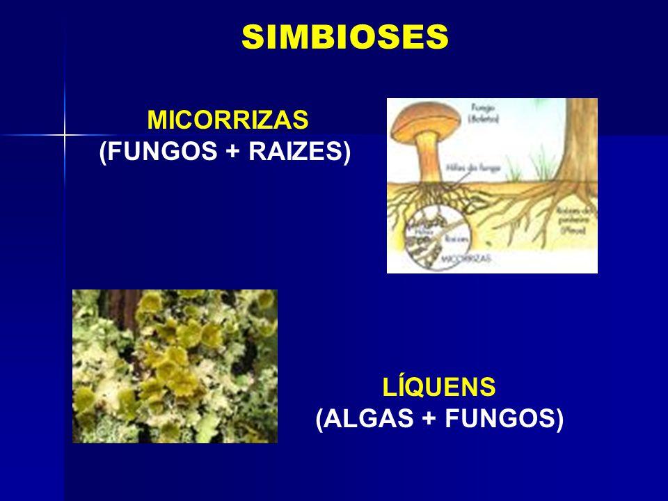MICORRIZAS (FUNGOS + RAIZES) LÍQUENS (ALGAS + FUNGOS)