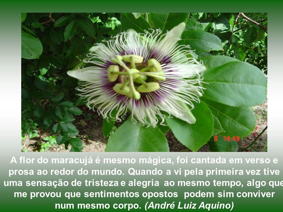 A flor do maracujá é mesmo mágica, foi cantada em verso e prosa ao redor do mundo.