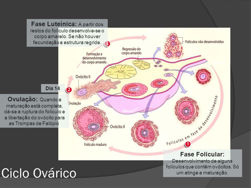 Fase Luteínica: A partir dos restos do folículo desenvolve-se o corpo amarelo. Se não houver fecundação a estrutura regride.