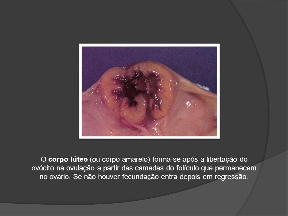 O corpo lúteo (ou corpo amarelo) forma-se após a libertação do ovócito na ovulação a partir das camadas do folículo que permanecem no ovário.