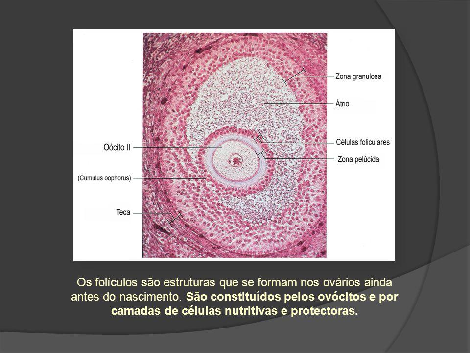 Os folículos são estruturas que se formam nos ovários ainda antes do nascimento.